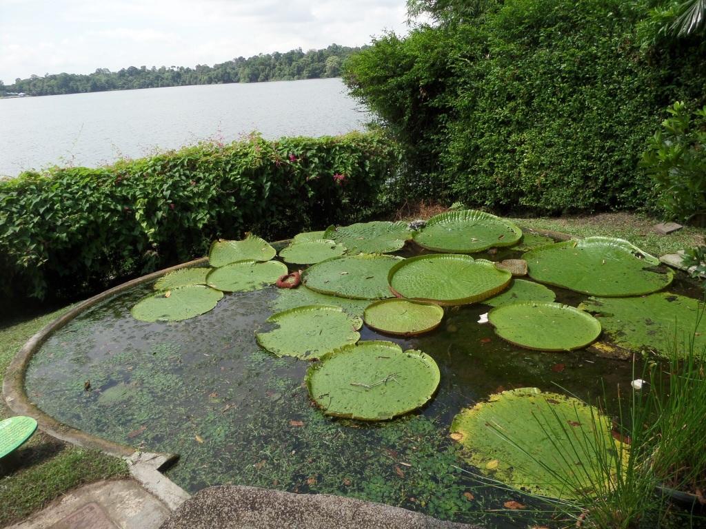 Water lilies, Singapore Zoo