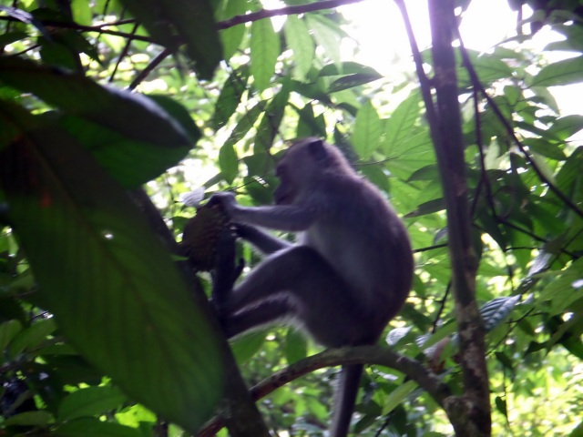 Monkey, MacRitchie Trail, Singapore
