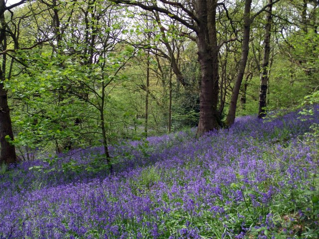 Bluebell Woods, Ilkley