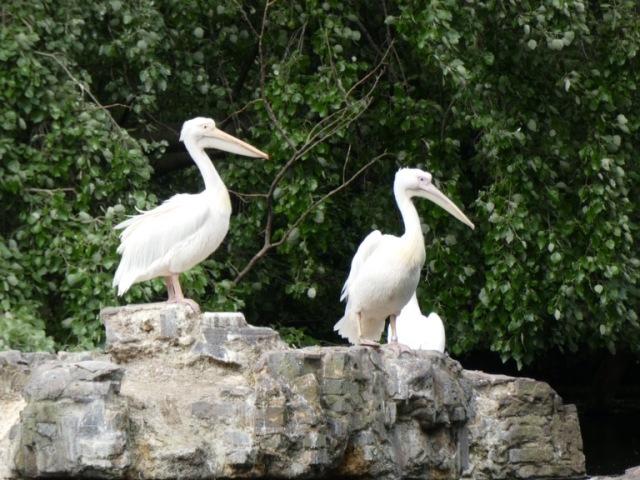 Pelicans in St. James's Park, London