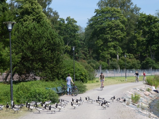 Barnacle geese near Ruoholahti, Helsinki