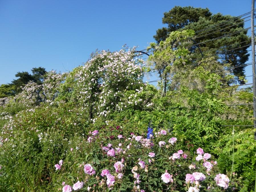 Flowers in Trentham Gardens