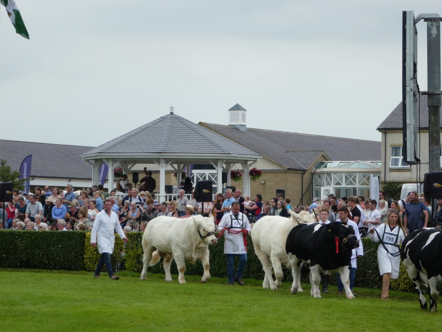 Cattle Parade at the Great Yorkshire Show